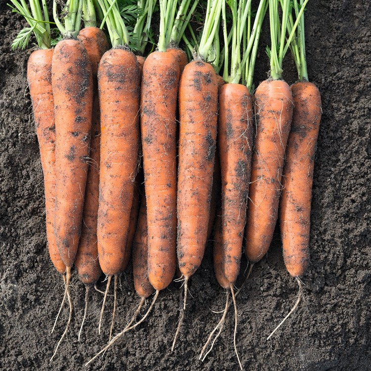 Норвегия F1, семена моркови (Bejo / Бейо) - фото 5260
