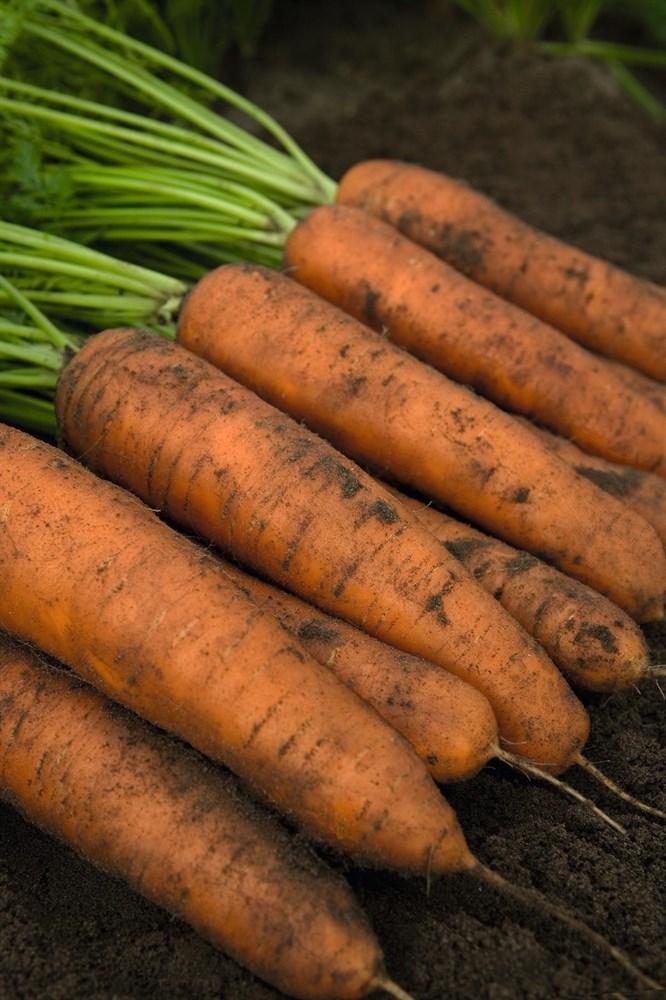 Белградо F1, семена моркови (Bejo / Бейо) - фото 5261