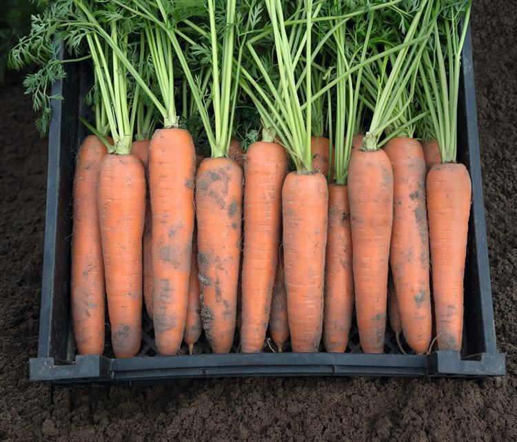 Берлин F1, семена моркови (Bejo / Бейо) - фото 5263
