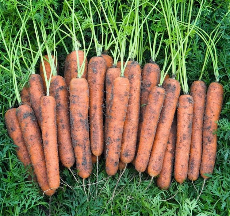 Норволк F1, семена моркови (Bejo / Бейо) - фото 5264