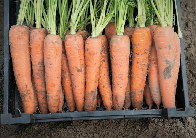 Камаран F1, семена моркови (Bejo / Бейо) - фото 5266