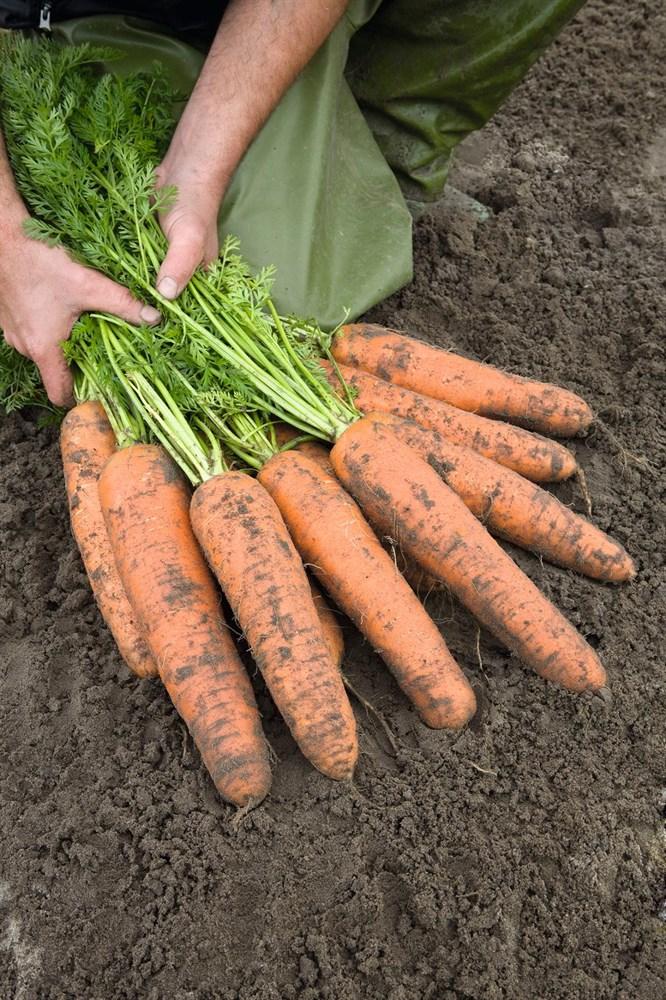Базель F1, семена моркови (Bejo / Бейо) - фото 5275