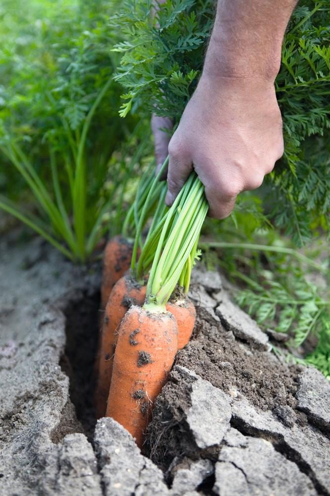Навал F1, семена моркови (Bejo / Бейо) - фото 5284