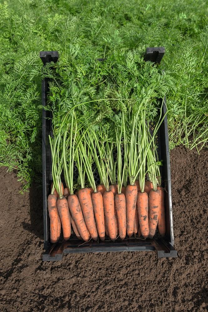 Нарбонне F1, семена моркови (Bejo / Бейо) - фото 5285