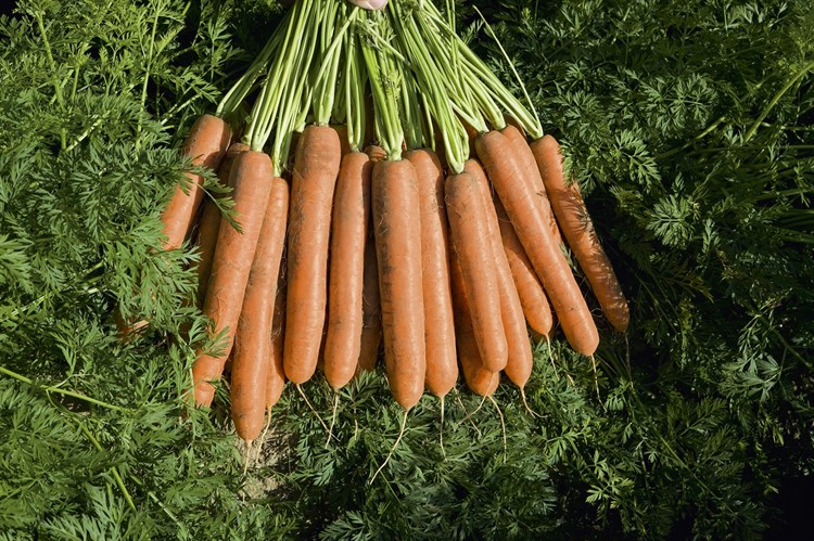 Намдал F1, семена моркови (Bejo / Бейо) - фото 5288