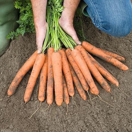 Найджел F1, семена моркови (Bejo / Бейо) - фото 5290