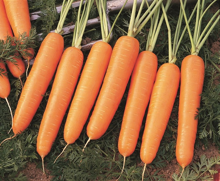 Найроби F1, семена моркови (Bejo / Бейо) - фото 5291