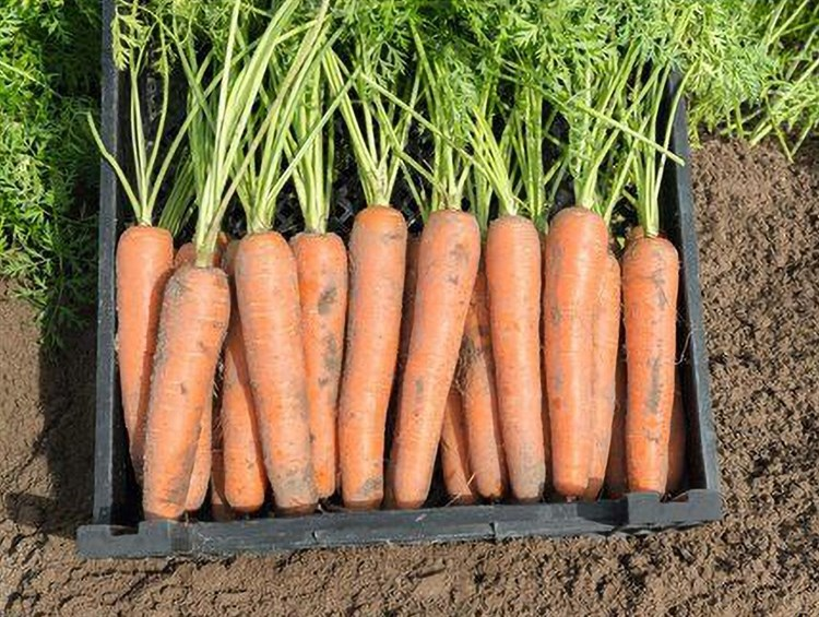 Ниагара F1, семена моркови (Bejo / Бейо) - фото 5292