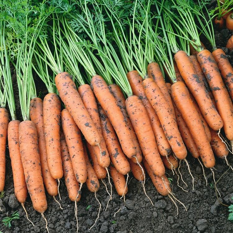 Наполи F1, семена моркови (Bejo / Бейо) - фото 5293