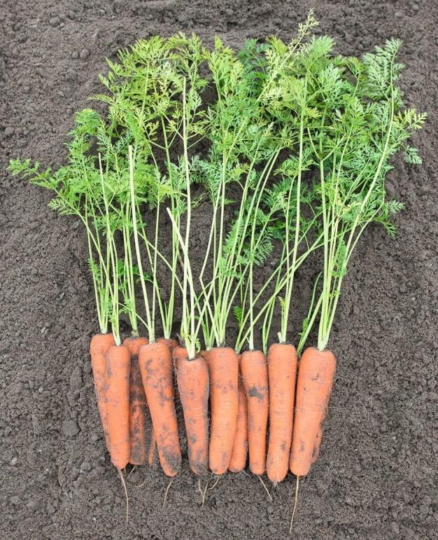 Нирим F1, семена моркови (Bejo / Бейо) - фото 5295