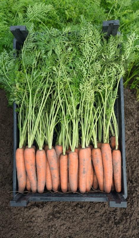 Неликс F1, семена моркови (Bejo / Бейо) - фото 5297