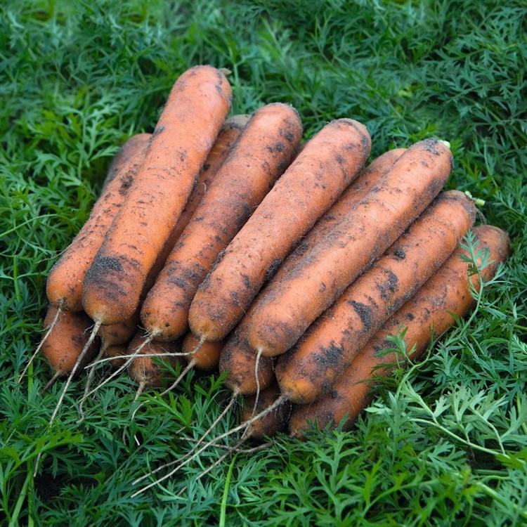 Номинатор F1, семена моркови (Bejo / Бейо) - фото 5298