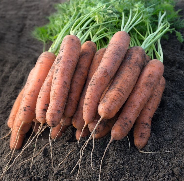 Нектар F1, семена моркови (Bejo / Бейо) - фото 5299
