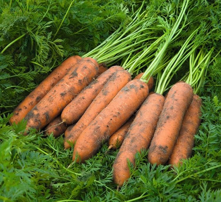 Ньюкасл F1, семена моркови (Bejo / Бейо) - фото 5301