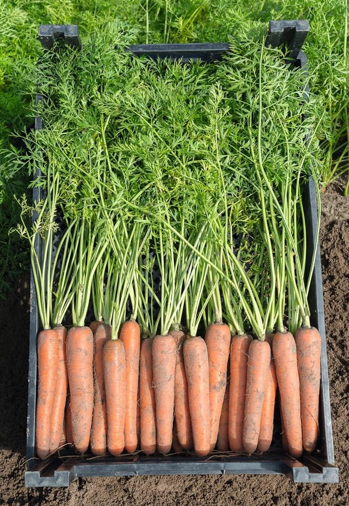 Ньюхолл F1, семена моркови (Bejo / Бейо) - фото 5303