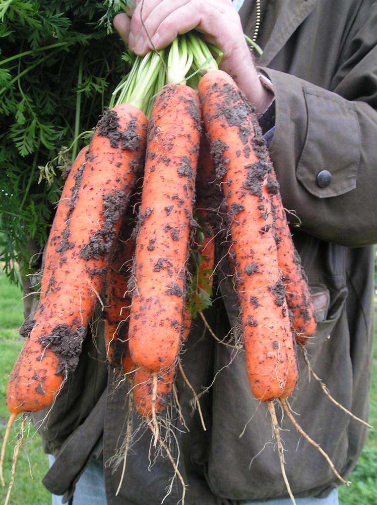 Самсон, семена моркови (Bejo / Бейо) - фото 5307
