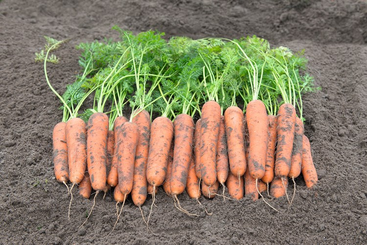 Ромоса, семена моркови (Bejo / Бейо) - фото 5308