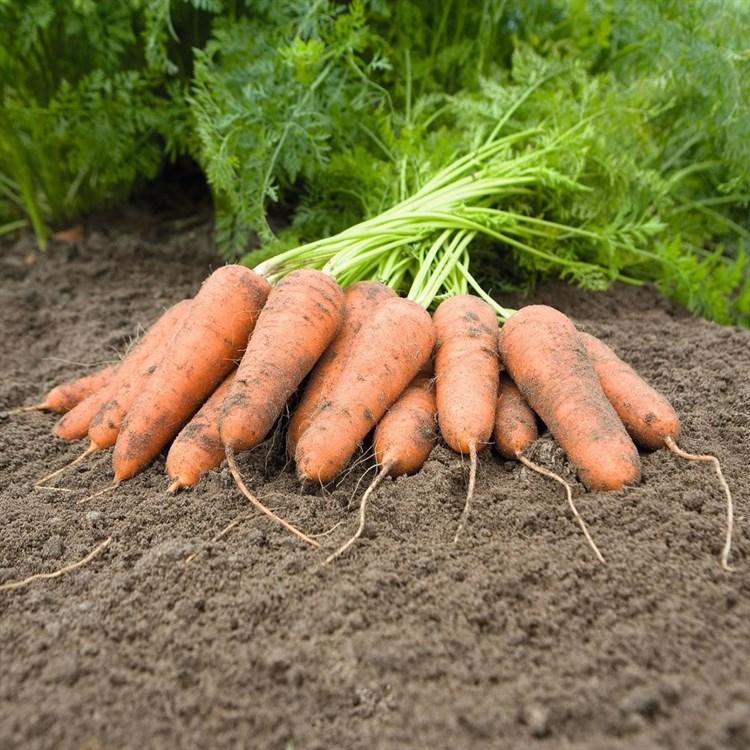 Карини, семена моркови (Bejo / Бейо) - фото 5311