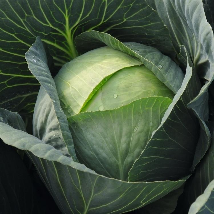 Кандела F1, семена капусты белокочанной (Bejo / Бейо) - фото 5385