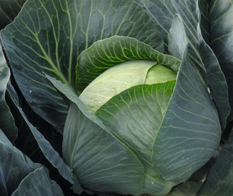 Бруно F1, семена капусты белокочанной (Bejo / Бейо) - фото 5443