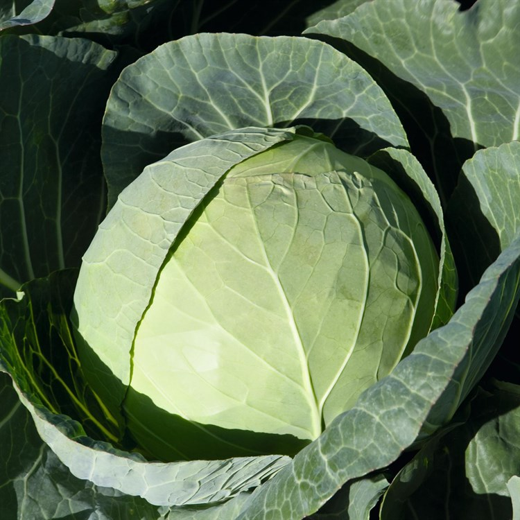 Артост F1, семена капусты белокочанной (Bejo / Бейо) - фото 5446