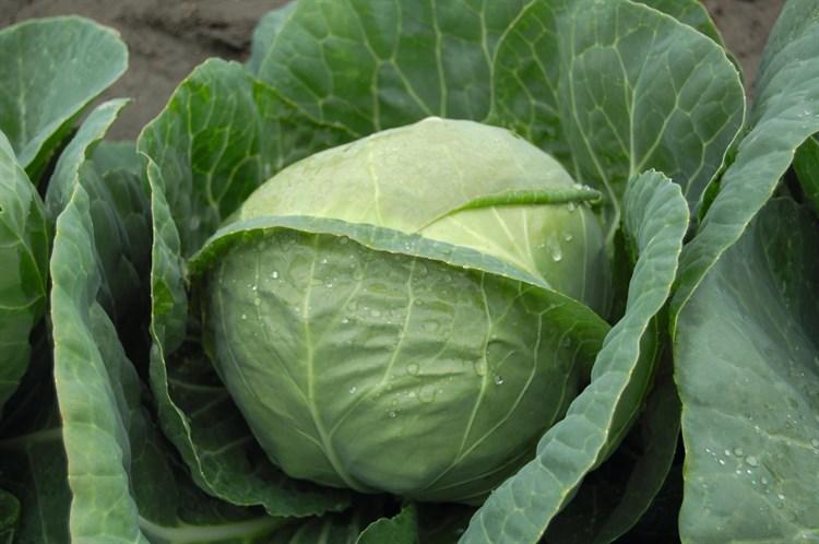 Катарина F1, семена капусты белокочанной (Bejo / Бейо) - фото 5448