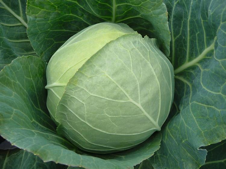 Чекмейт F1, семена капусты белокочанной (Bejo / Бейо) - фото 5462