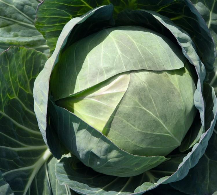 Церокс F1, семена капусты белокочанной (Bejo / Бейо) - фото 5471