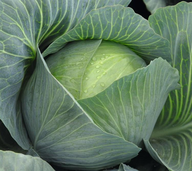 Амтрак F1, семена капусты белокочанной (Bejo / Бейо) - фото 5472