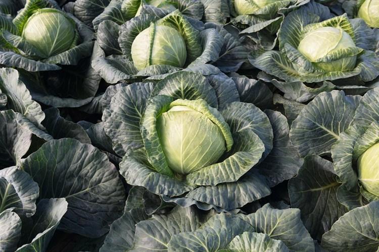 Краутман F1, семена капусты белокочанной (Bejo / Бейо) - фото 5473