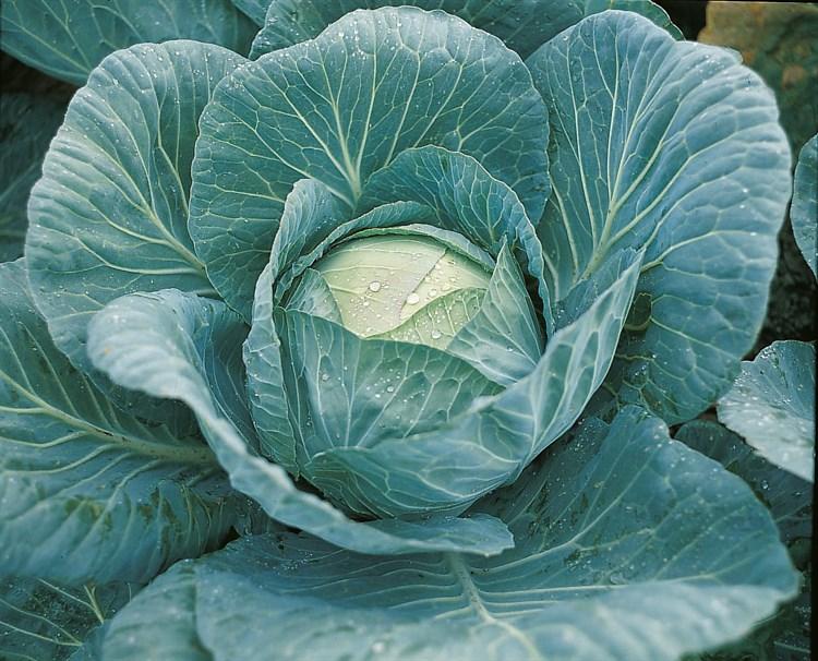 Крауткайзер F1, семена капусты белокочанной (Bejo / Бейо) - фото 5475