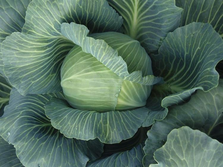 Альфредо F1, семена капусты белокочанной (Bejo / Бейо) - фото 5478