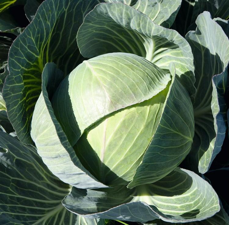 Каунтер F1, семена капусты белокочанной (Bejo / Бейо) - фото 5480