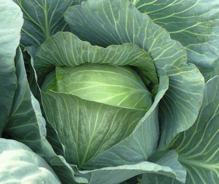 Леннокс F1, семена капусты белокочанной (Bejo / Бейо) - фото 5484