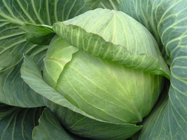 Парадокс F1, семена капусты белокочанной (Bejo / Бейо) - фото 5486