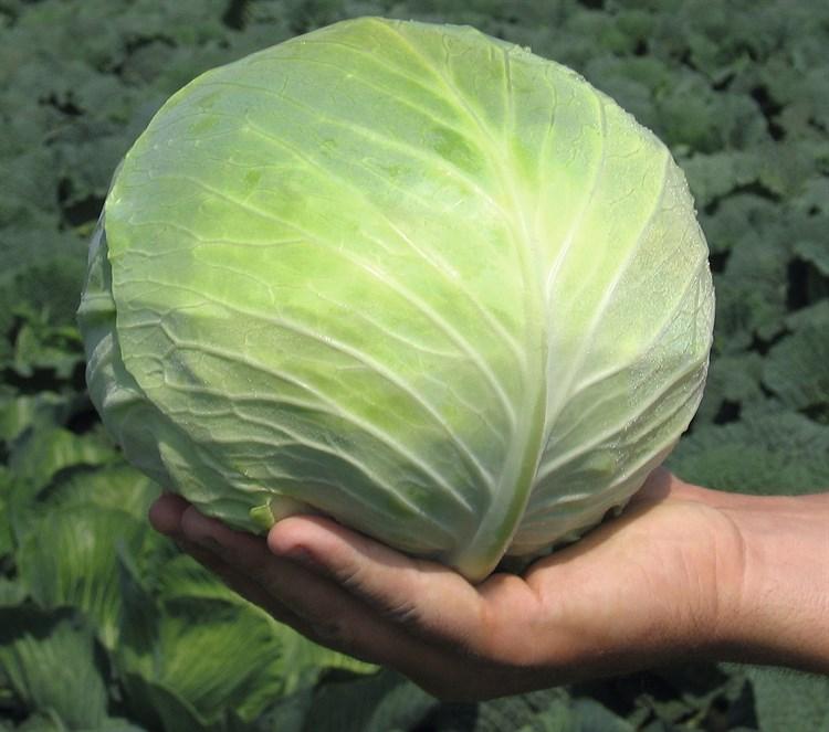 Сесиль F1, семена капусты белокочанной (Bejo / Бейо) - фото 5488