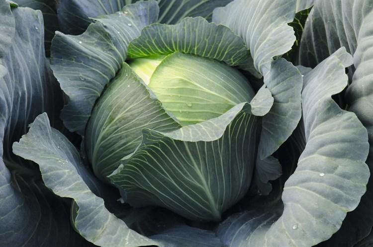 Леопольд F1, семена капусты белокочанной (Bejo / Бейо) - фото 5491