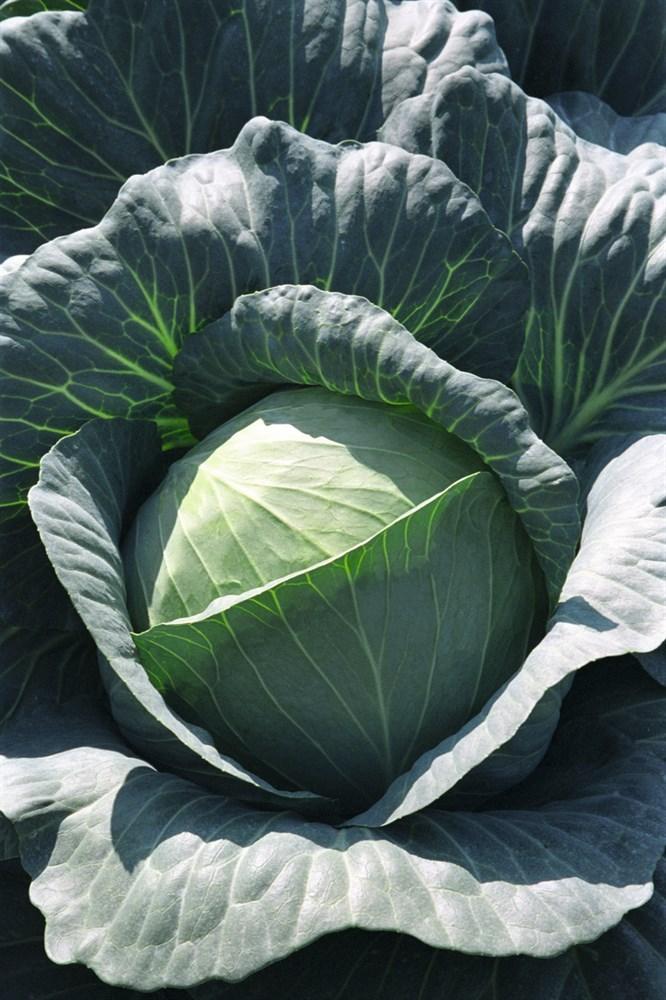 Транзам F1, семена капусты белокочанной (Bejo / Бейо) - фото 5493