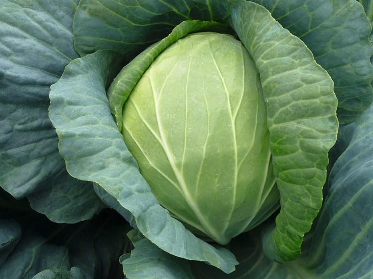 Дискавер F1, семена капусты белокочанной (Bejo / Бейо) - фото 5495