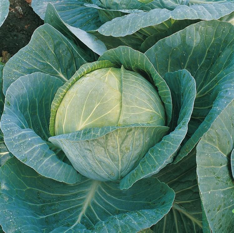Мегатон F1, семена капусты белокочанной (Bejo / Бейо) - фото 5496