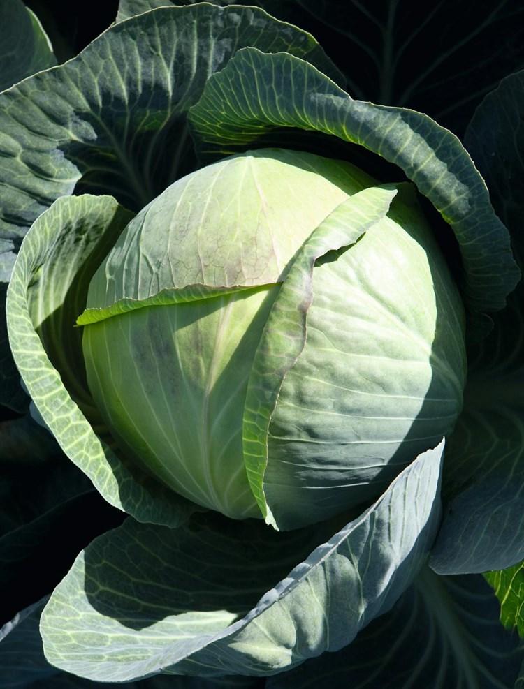 Циклон F1, семена капусты белокочанной (Bejo / Бейо) - фото 5497