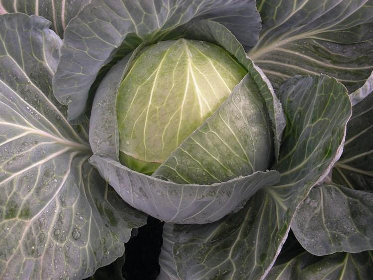 Менди F1, семена капусты белокочанной (Bejo / Бейо) - фото 5499