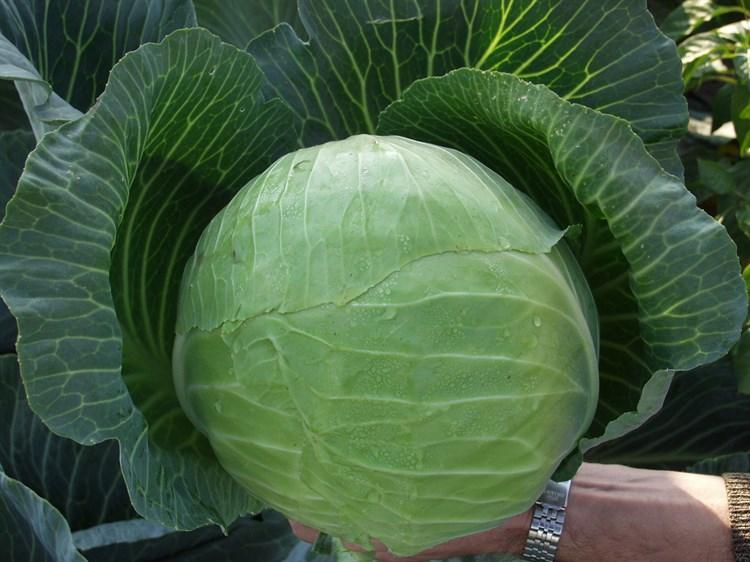 Харрикейн F1, семена капусты белокочанной (Bejo / Бейо) - фото 5500