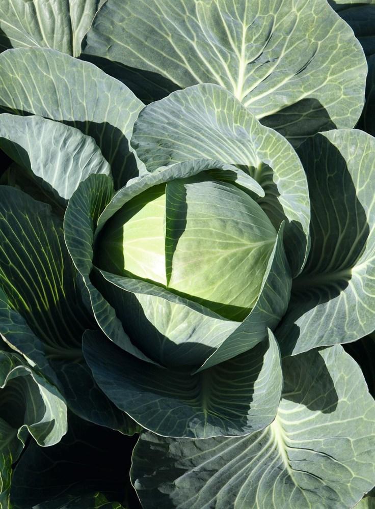 Экспект F1, семена капусты белокочанной (Bejo / Бейо) - фото 5501