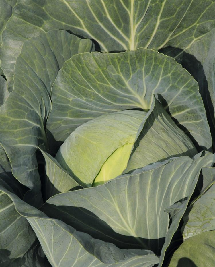 Юбилей F1, семена капусты белокочанной (Bejo / Бейо) - фото 5511