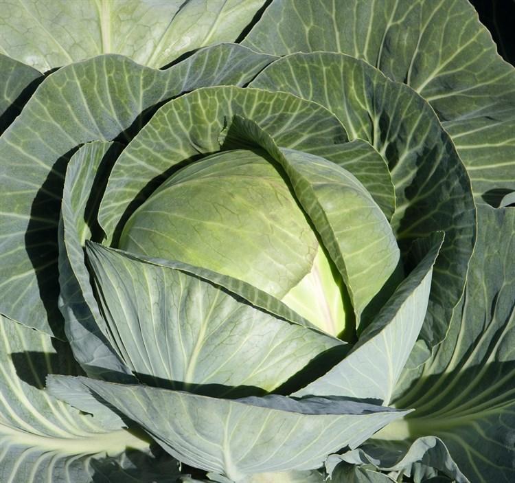 Циркон F1, семена капусты белокочанной (Bejo / Бейо) - фото 5515