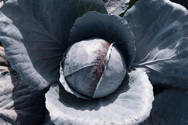 Примеро F1, семена капусты краснокочанной (Bejo / Бейо) - фото 5520