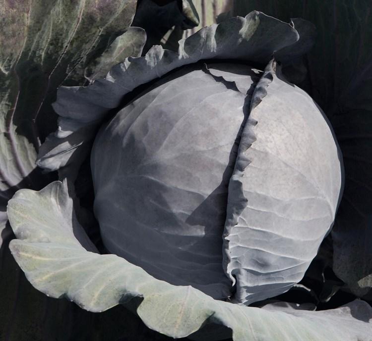 Климаро F1, семена капусты краснокочанной (Bejo / Бейо) - фото 5524