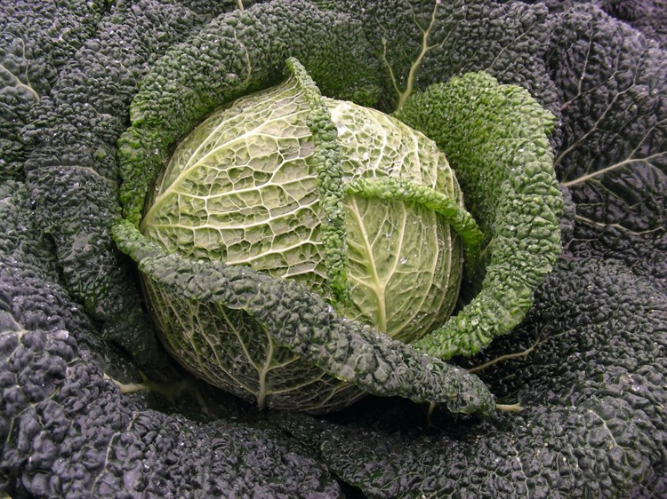Вироса F1, семена капусты савойской (Bejo / Бейо) - фото 5528