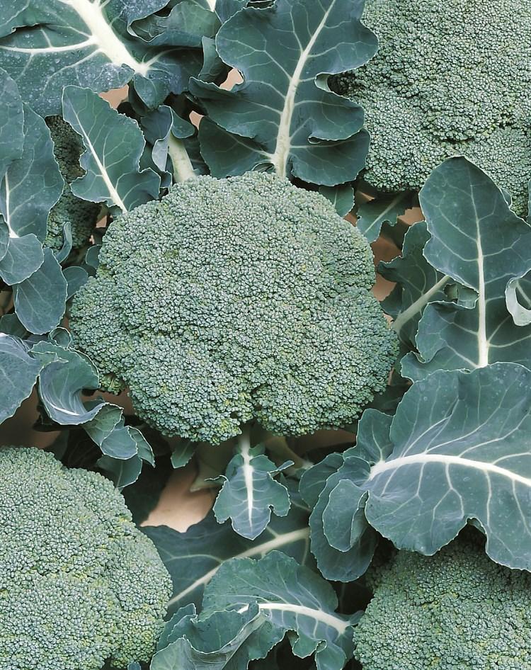Белстар F1, семена капусты брокколи (Bejo / Бейо) - фото 5565